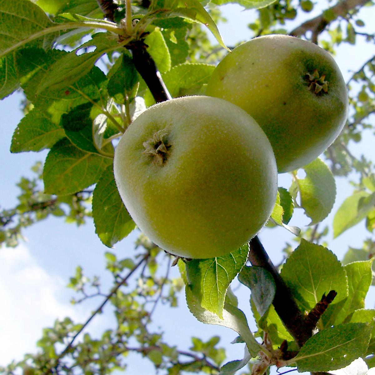 Weißer Klarapfel, Genussreife Juli
